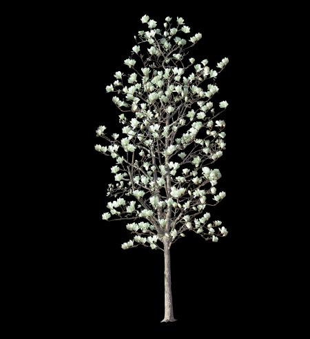 景观植物ps素材|玉兰树psd