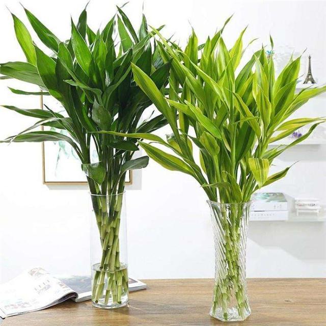 不可居无竹,盘点5种最适合家里养的盆栽竹,你家种了吗?