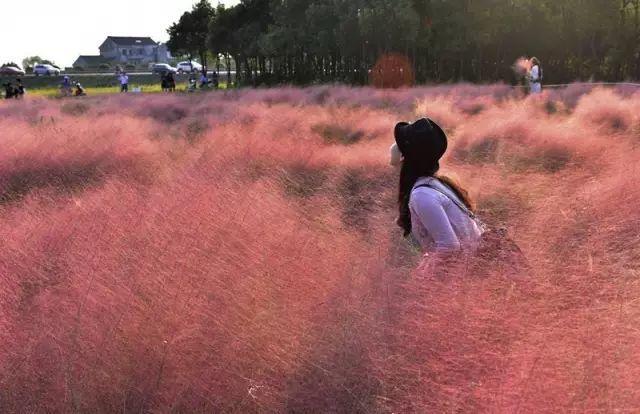 50种·常用观赏草品种,图文并茂