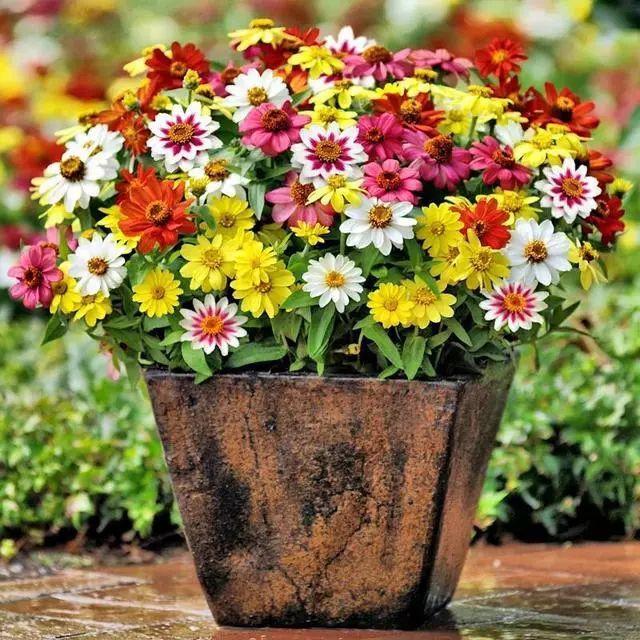 好种又好看的百日草,如果你有院子一定不要错过它_6