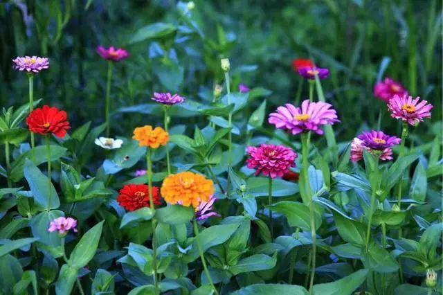 好种又好看的百日草,如果你有院子一定不要错过它_1