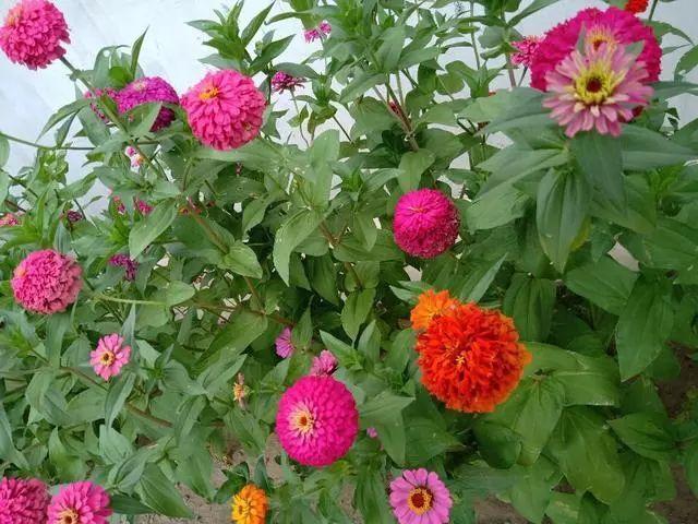 好种又好看的百日草,如果你有院子一定不要错过它_2