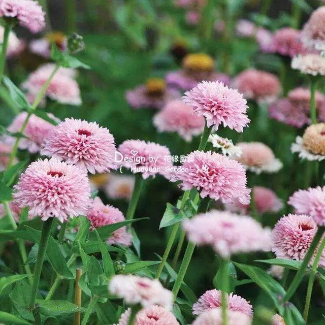 好种又好看的百日草,如果你有院子一定不要错过它_8
