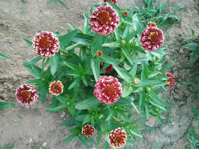 好种又好看的百日草,如果你有院子一定不要错过它_4