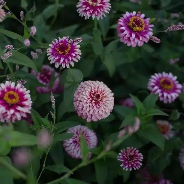 好种又好看的百日草,如果你有院子一定不要错过它_14