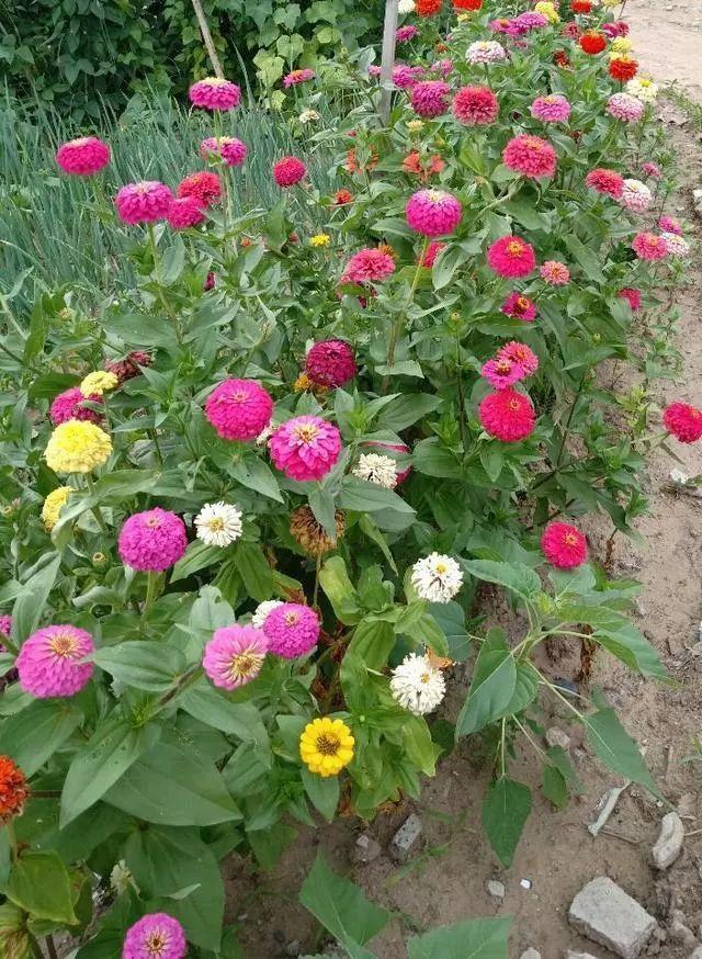 好种又好看的百日草,如果你有院子一定不要错过它_16