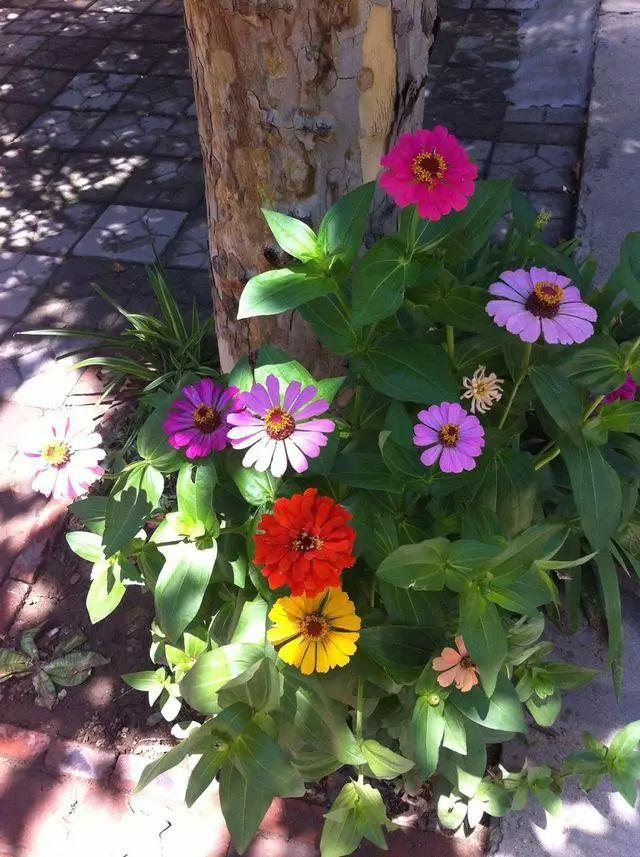 好种又好看的百日草,如果你有院子一定不要错过它_17