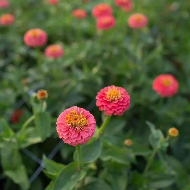 好种又好看的百日草,如果你有院子一定不要错过它_12