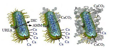 神奇的微生物与结构加固