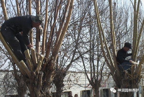 园林植保分享 | 冬季园林植物修剪技术分享