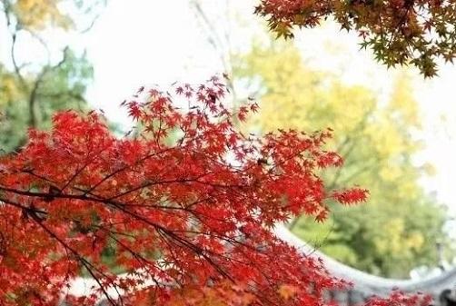红点红枫人工催红的方法