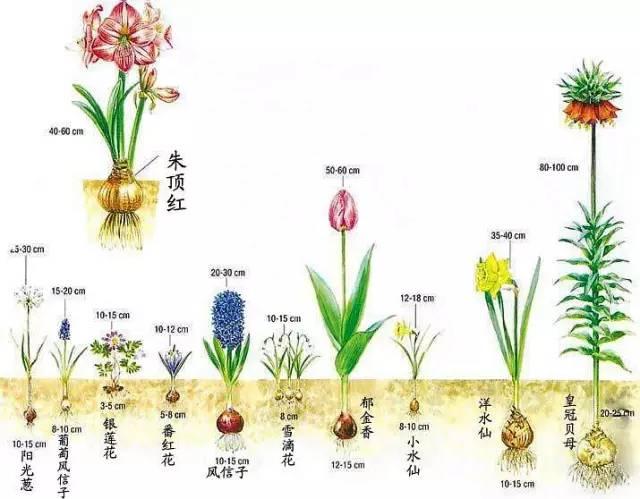 冬天,最适合新手种植的几种球根花卉_1