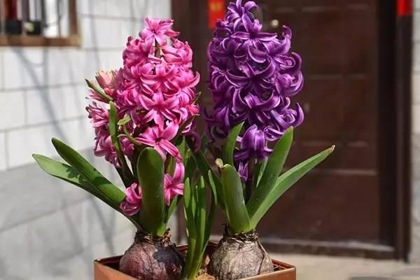 冬天,最适合新手种植的几种球根花卉_4