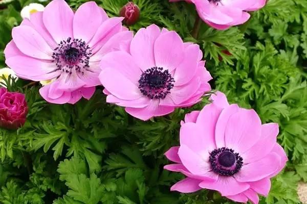 冬天,最适合新手种植的几种球根花卉_13