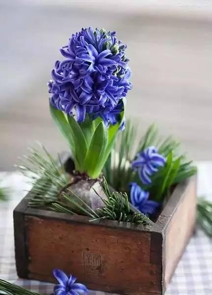 冬天,最适合新手种植的几种球根花卉_7