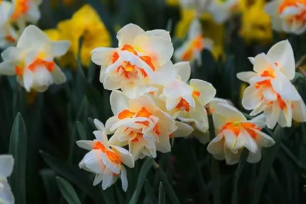 冬天,最适合新手种植的几种球根花卉_10