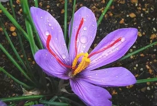 冬天,最适合新手种植的几种球根花卉_20