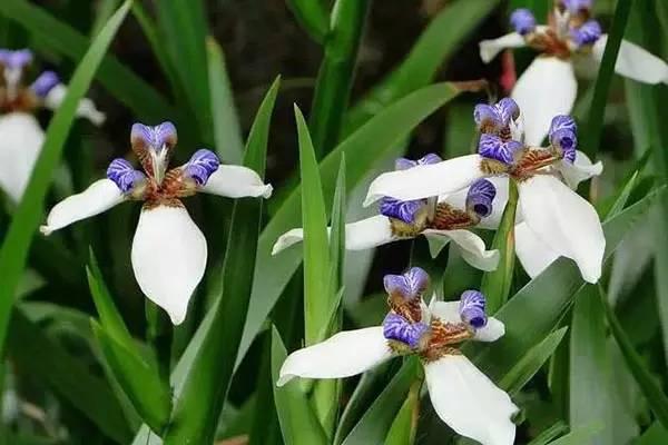冬天,最适合新手种植的几种球根花卉_17