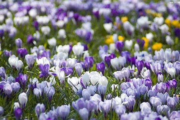 冬天,最适合新手种植的几种球根花卉_21