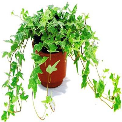 8种植物净化空气,还要空气净化器干嘛?_5