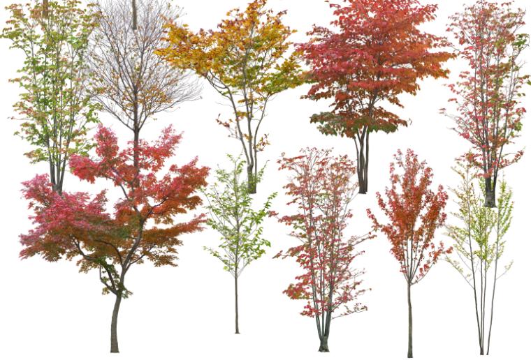 高清园林树木PS素材(8)-彩叶树种