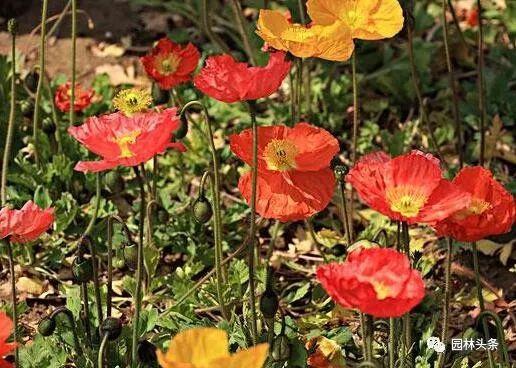 16种超耐旱草花,生如夏花就靠它们啦!_8