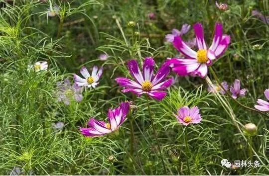 16种超耐旱草花,生如夏花就靠它们啦!_10