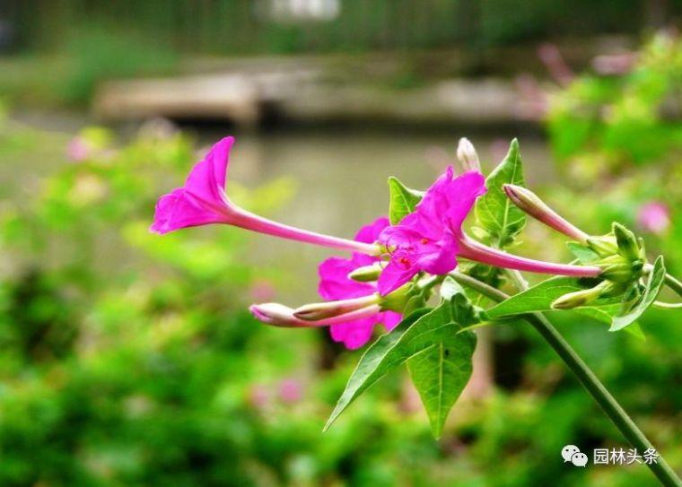 16种超耐旱草花,生如夏花就靠它们啦!_12