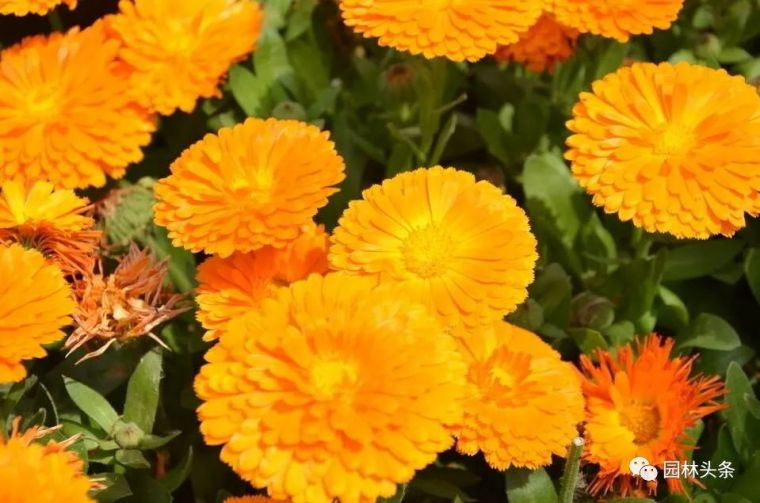 16种超耐旱草花,生如夏花就靠它们啦!_17