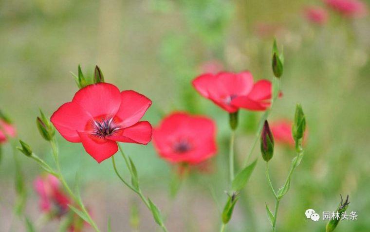 16种超耐旱草花,生如夏花就靠它们啦!_15