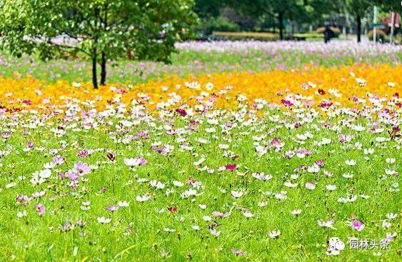 16种超耐旱草花,生如夏花就靠它们啦!_23