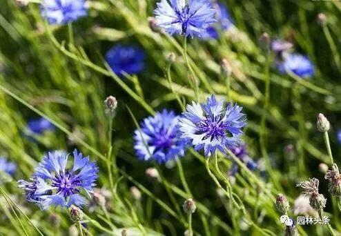 16种超耐旱草花,生如夏花就靠它们啦!_27
