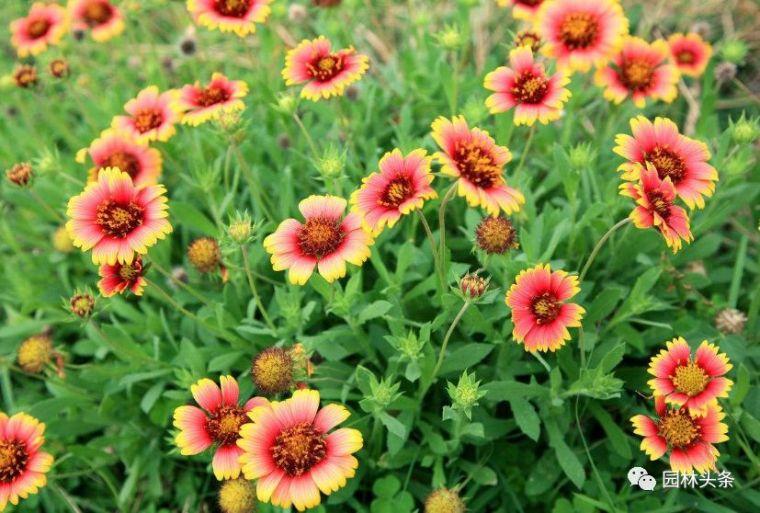 16种超耐旱草花,生如夏花就靠它们啦!_29