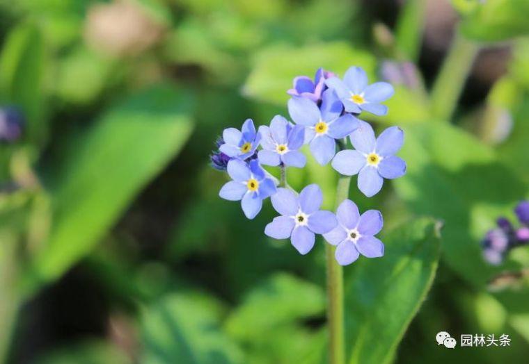 16种超耐旱草花,生如夏花就靠它们啦!_35