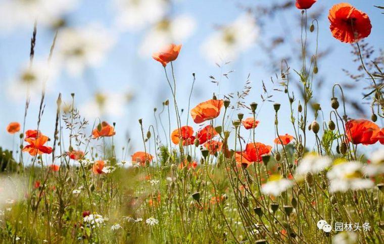 16种超耐旱草花,生如夏花就靠它们啦!_33