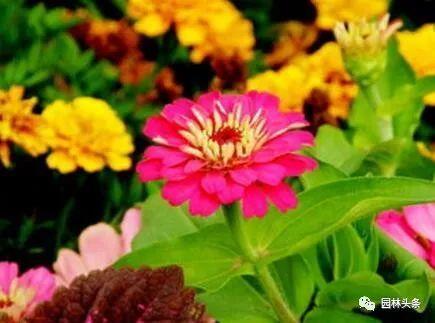 16种超耐旱草花,生如夏花就靠它们啦!_5