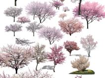 园林植物-观花树种前景树樱花psd素材
