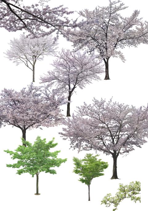 园林植物-观花树种前景树樱花psd素材-2-樱花psd素材