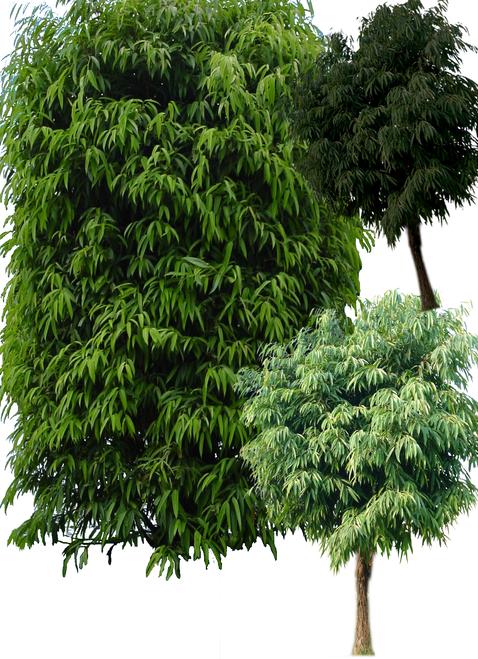 园林植物-雪松亚里塔榕杨梅洋金凤psd素材-2-亚里塔榕