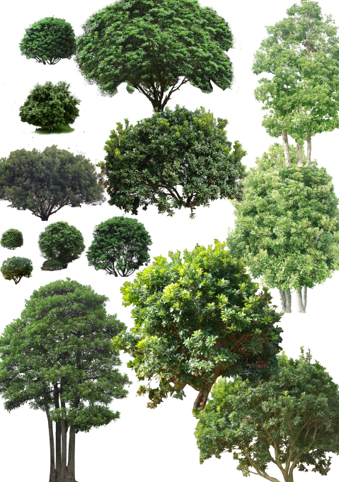 园林植物-雪松亚里塔榕杨梅洋金凤psd素材-3-杨梅