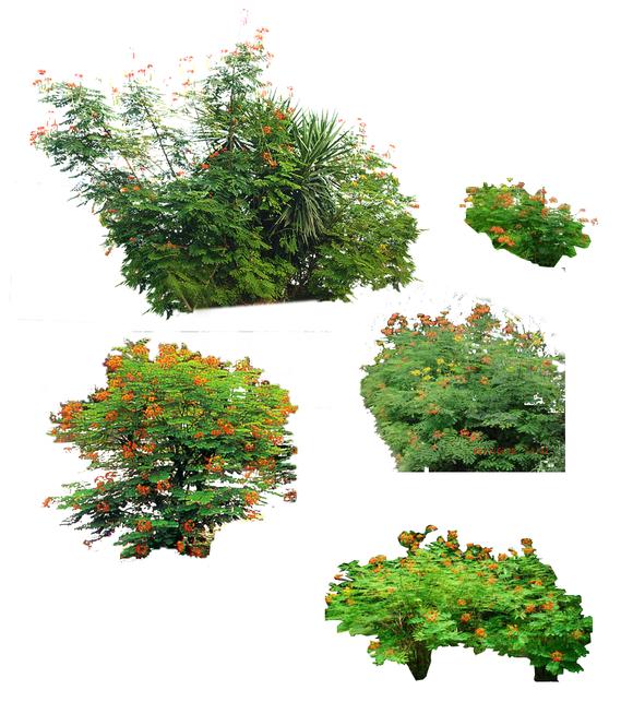 园林植物-雪松亚里塔榕杨梅洋金凤psd素材-4-洋金凤