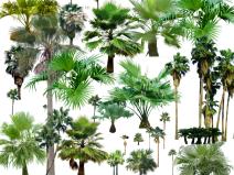 园林植物蒲葵psd素材