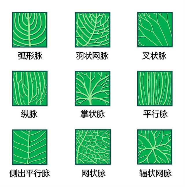 干货|最全的植物形态图解!_10