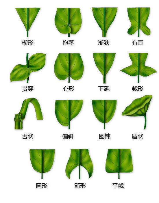 干货|最全的植物形态图解!_7