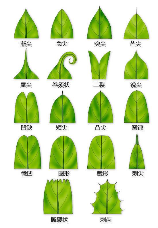 干货|最全的植物形态图解!_8