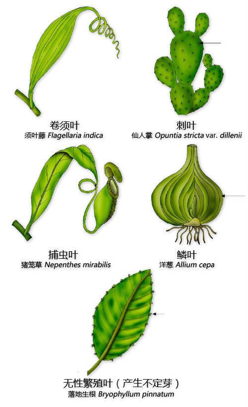 干货|最全的植物形态图解!_15