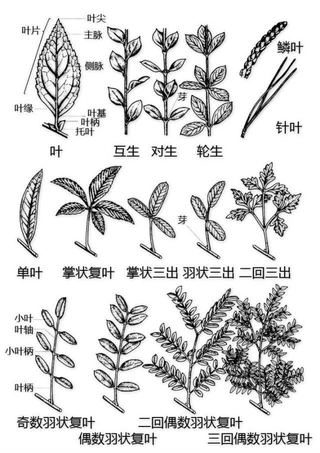 干货|最全的植物形态图解!_16