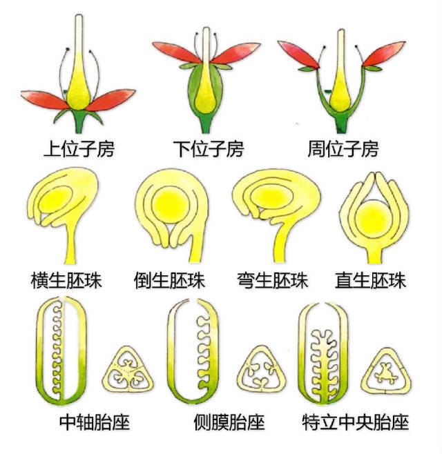 干货|最全的植物形态图解!_21