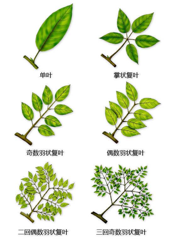 干货|最全的植物形态图解!_14