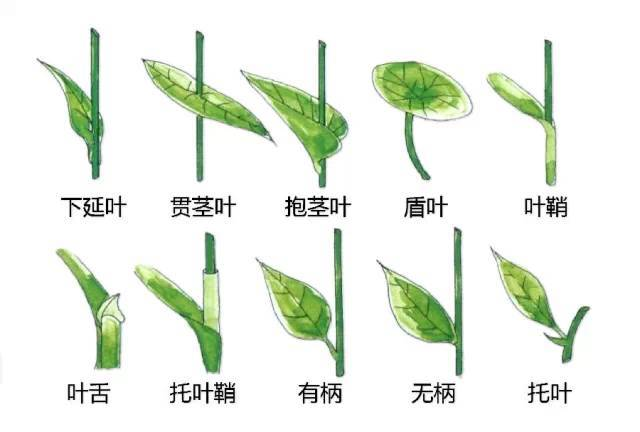 干货|最全的植物形态图解!_9
